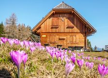 Austria - Cottage and pink crocus royalty free stock images