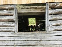 Austria Cow. Cow in a wooden house Royalty Free Stock Photo