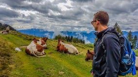 Austria - Hiking man encounters cows on the trail stock photos