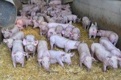 Austria, Pig Farming Royalty Free Stock Photos