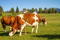 austria Las vacas lecheras pastan en un prado alpino rodeado por las montañas imagen de archivo libre de regalías