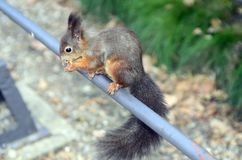 Austria, Zoology. Austria, red squirrel in Schoenbrunn garden Royalty Free Stock Photos