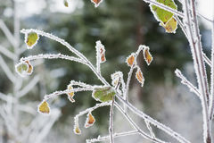Austria, Salzburg, Snow covered leaf with hoarfrost Royalty Free Stock Images