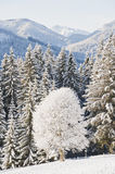 Austria, Salzburg, Snow covered trees in Altenmarkt-Zauchensee with mountain ranges in background Royalty Free Stock Photo