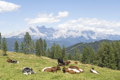 Austria, Salzburger Land, Cattle resting on mountain pasture Royalty Free Stock Photography