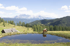 Austria, Salzburger Land, cow drinking from pool Royalty Free Stock Photos