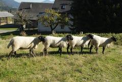 Austria, sheeps. Austria, four sheeps in a row Stock Photos