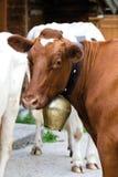 Austria, Tyrol, Engalm, Cows. Austria Tyrol, Engalm Cows, close-up Royalty Free Stock Image