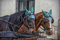 Traditional travel on a trip with horse carriage ride in the center of Vienna. Austria, Vienna 30,12,2017 Traditional travel on a trip with horse carriage ride stock photography