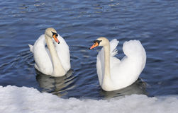 Austria. Zell-Am-See. Couple of tender swans. On the blue lake surface with ice Royalty Free Stock Image