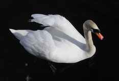 Austria. Zell-Am-See. Proud white swan on black Stock Photos