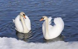 Austria. Zell-Ser-Vea. Pares de cisnes blandos Imagen de archivo libre de regalías