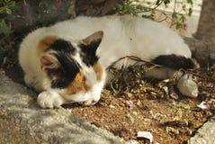 Austria, Zoology, Cat Stock Image