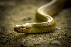 austriaca coronella平稳的蛇 免版税图库摄影