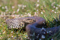 Austriaca liso de Coronella da serpente que prepara-se para atacar Anéis ondulados réptil Fotografia de Stock Royalty Free