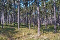 Austriacki sosnowy Pinus nigra las zdjęcie royalty free