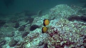 Austriacus de Chaetodon de butterflyfish de Blacktail dans le golfe d'Oman du Foudjairah EAU banque de vidéos