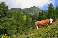Austrian Alps - cow in mountains Royalty Free Stock Image