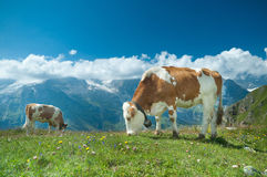 Austrian cow Royalty Free Stock Photo
