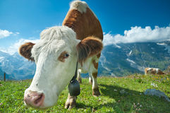 Austrian cow Royalty Free Stock Image