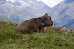 Austrian Cow. On a hillside Stock Images
