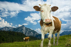 Austrian Cow in the Alps Stock Photography