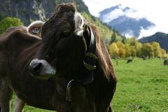 Austrian cow Stock Photography