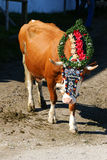 Austrian cow with a headdress during a cattle drive in Tyrol, Austria. Royalty Free Stock Image