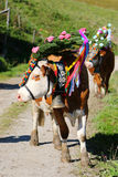 Austrian cows with a headdress during a cattle drive in Tyrol, Austria Royalty Free Stock Photos