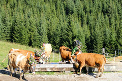 Austrian cows with a headdress drinking water from a wooden trough Stock Photos