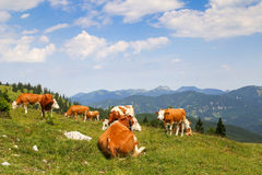 Austrian cows relaxing on Alpine meadow Royalty Free Stock Photos