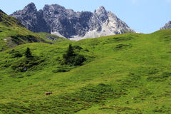 Austrian cows walk the mountains during the summer period Royalty Free Stock Images