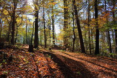 Austrian Forest. Sun's rays penetrate through the fog and the trees Royalty Free Stock Photo