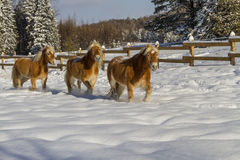 Austrian Haflinger Horses Stock Photo