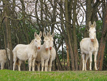 Austrian Hungarian White Donkeys Stock Photos