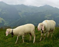 Austrian landscape with  sheep  on the grass Stock Photos