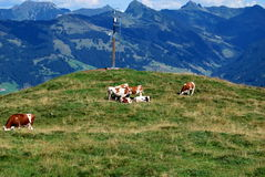 Austrian Mountains with cows. Eating cows with the austrian mountains in the background Royalty Free Stock Images