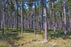 Austrian pine Pinus nigra forest. Monoculture, providing timber and non-timber forest products as resin Royalty Free Stock Photo
