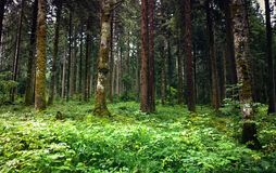 Austrian forest in summer Royalty Free Stock Images