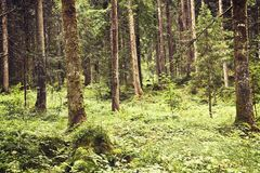 Austrian forest in summer Royalty Free Stock Photo