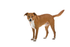 Austrian Pinscher dog. Close up of Austrian short-haired Pinscher dog isolated on white background Royalty Free Stock Image