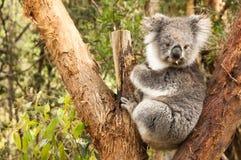 Austrlian koala Royaltyfria Foton