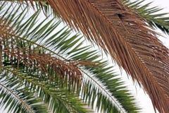 Austrocknen von Palmblättern stockfoto