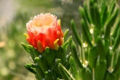 Austrocylindropuntia-subulata Kaktus Eves Stift vom Ufer des Meeres von Galiläa lizenzfreies stockbild