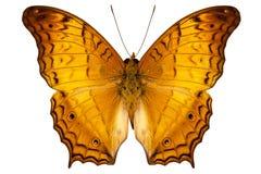 Austrosundana de dejone de Vindula d'espèce de guindineau Image stock