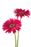 Auszacken Sie gerber Gänseblümchen en Lizenzfreie Stockfotografie