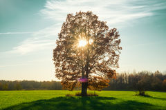 Autamn tree in field with sun Royalty Free Stock Photography