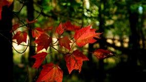 Autentico, foglie di acero rosse di vita che fluttuano nel vento stock footage