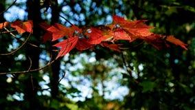 Autentico, foglie di acero rosse di vita che fluttuano nel vento video d archivio