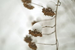 Autentiska snowcaps på växten Royaltyfri Fotografi
